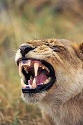 食いつき切り裂くための牙に相当する重要な歯